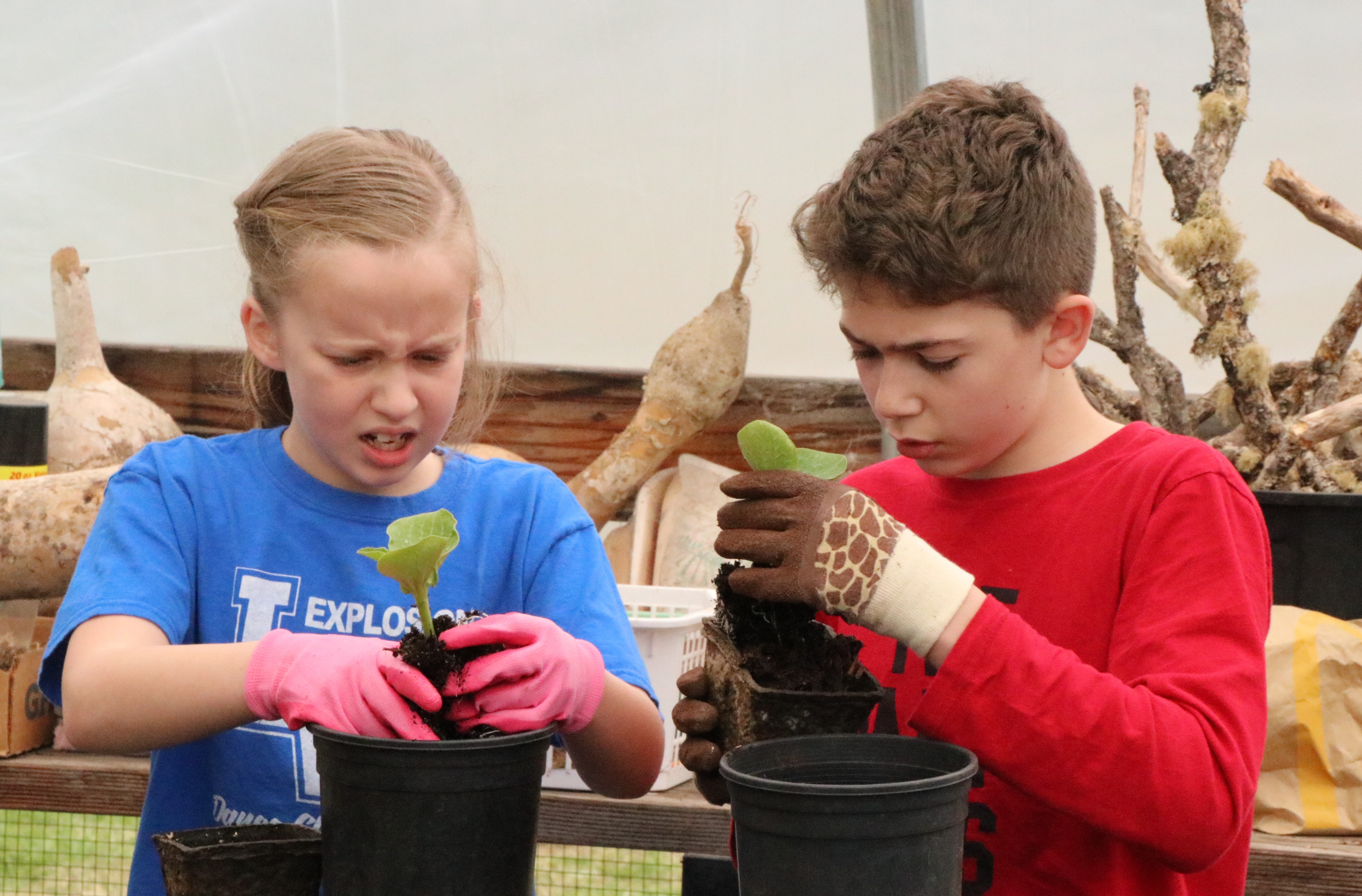 Cascades School fifth-graders Bella Burbank and Malachi Harris expose pumpkin plant roots